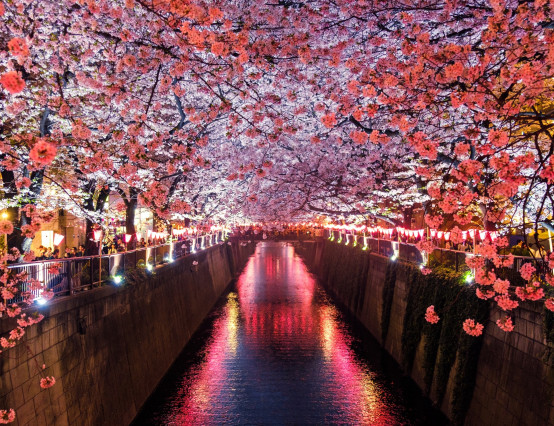 Early Japanese cherry blossom caused by climate change